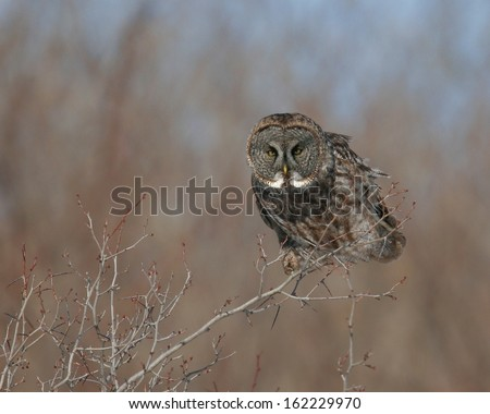 Great Grey Owl in wind on small tree - stock photo
