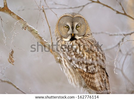 Great Grey Owl on tree at forest - stock photo
