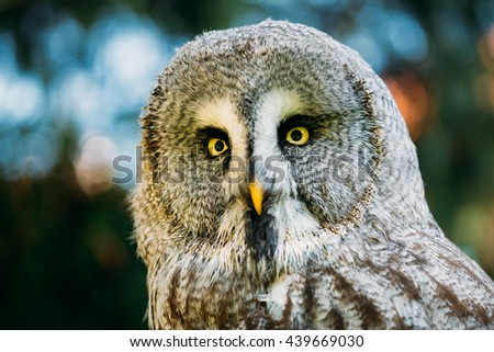 Great Grey Owl Or Great Gray Owl (Strix Nebulosa) Is Very Large Owl. Wild Bird. Close Up Head, Face. - stock photo