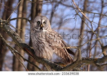 Great Grey Owl or Lapland Owl - stock photo