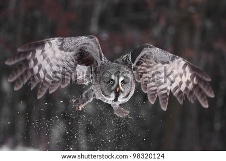 Great Grey Owl or Lapland Owl lat. Strix nebulosa - stock photo