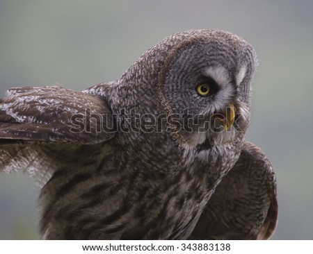 Great Grey Owl or Lapland Owl (Strix nebulosa) - stock photo