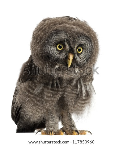 Great Grey Owl or Lapland Owl, Strix nebulosa, 2 months old against white background - stock photo