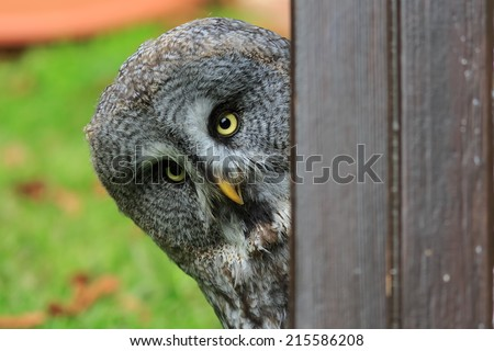 Great Grey Owl peeping from behind the wall - stock photo