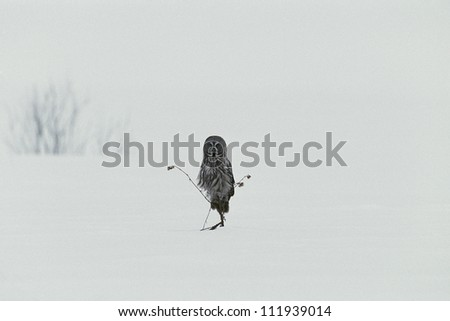 Great grey owl sitting in snowy landscape