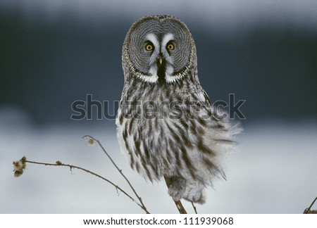 Great grey owl sitting in snowy landscape, closeup - stock photo