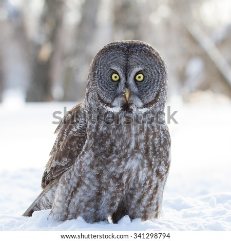 Great Grey Owl sitting on snow looking at the camera - stock photo