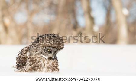 Great Grey Owl sitting on snow looking down - stock photo
