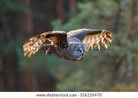 Great Grey Owl sitting on the tree - stock photo