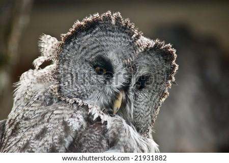 great grey owl, strix nebulosa - stock photo