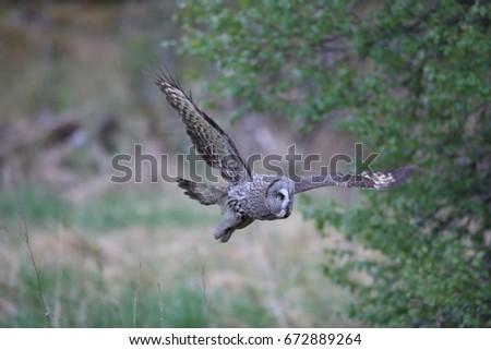 Great grey owl (Strix nebulosa)  Sweden