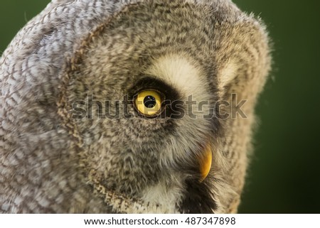 Great grey owl very close up