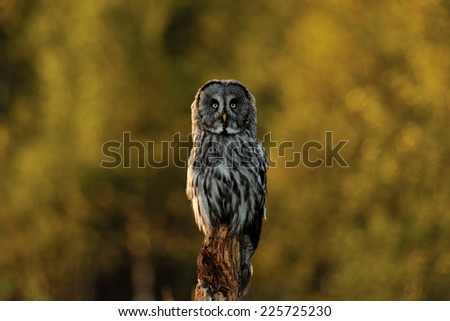 Great Grey Owl with forest background - stock photo