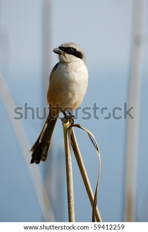 Great Grey Shrike. / The bird sits on blade small stalks on a light background. - stock photo