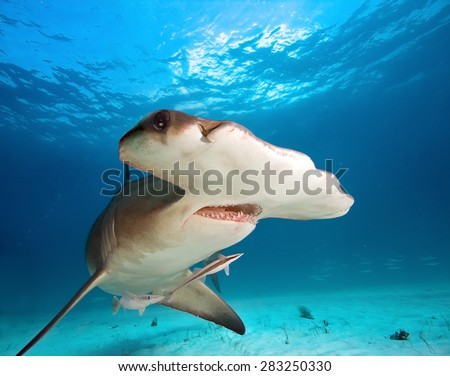 Great Hammerhead - stock photo