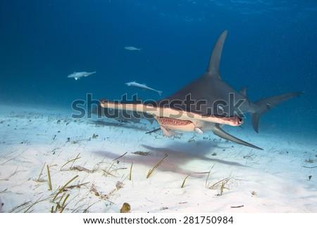 Great hammerhead shark - stock photo
