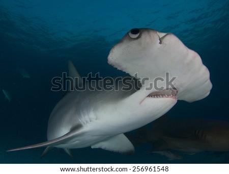 Great Hammerhead Shark in Bimini, Bahamas - stock photo