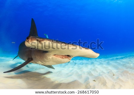Great hammerhead swimming over the sand in Bimini, Bahamas