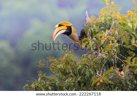Great Hornbill (Buceros bicornis) - stock photo