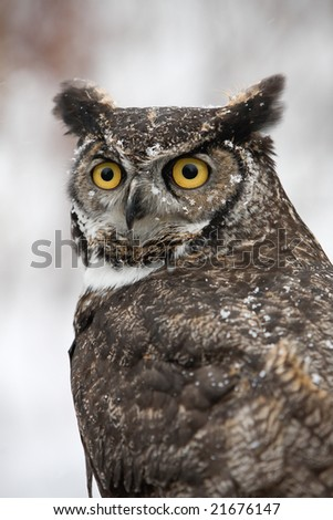 Great Horned Barn Owl outside in winter. Flakes of snow on feathers. Vertical format. - stock photo