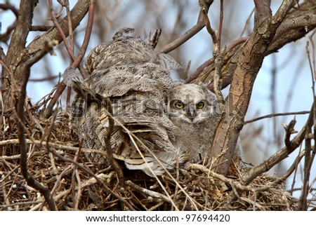 Great Horned Owl adult and and owlet in nest