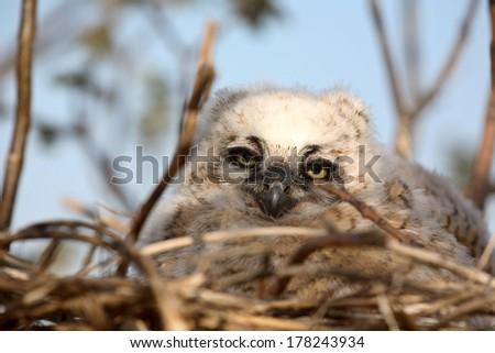 Great Horned Owl (Bubo virginianus - stock photo
