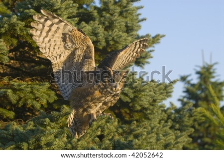 Great Horned Owl (Bubo virginianus) in flight near pine trees.