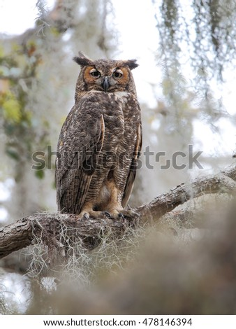 Great horned owl (Bubo virginianus) in tree, Kissimmee, Florida, USA