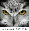 Great Horned Owl (Bubo virginianus) Intense Stare - captive bird - stock photo