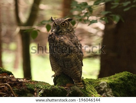 Great horned owl /Bubo virginianus/, known as the tiger owl, front view - stock photo