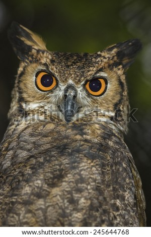Great Horned Owl, Bubo virginianus, with large orange eyes, Captive Situation, Central Pennsylvania, United States