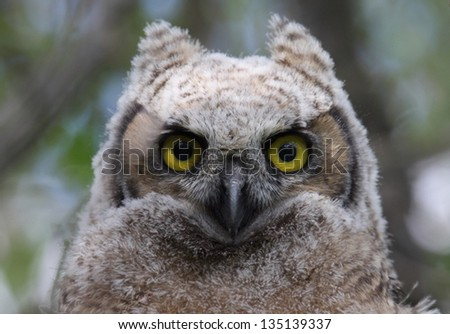 Great Horned Owl chick closeup
