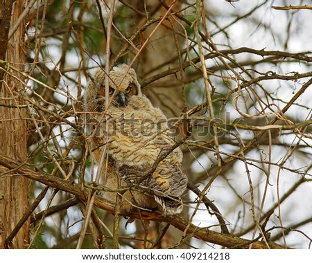Great Horned Owl chick found at the edge of the woods near Eloise Butler's Wildflower Garden and Bird Sanctuary.  April 2016. - stock photo