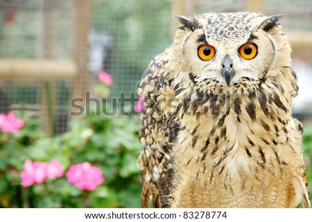 Great Horned Owl close-shot horizontal - stock photo