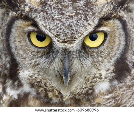 Great Horned Owl Close Portrait Eyes Stock Photo Edit Now