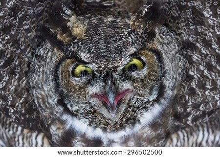 Great Horned Owl close up shot, BC Canada - stock photo