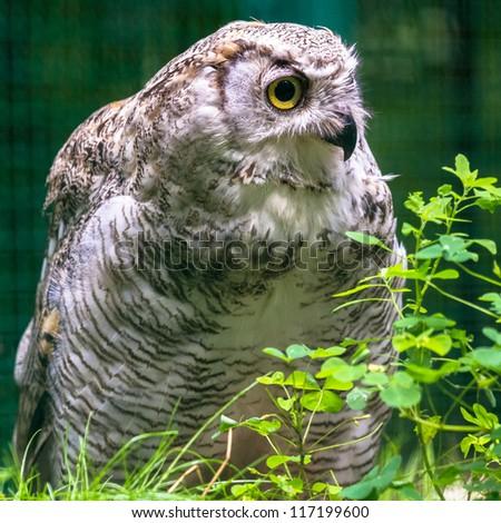 Great horned owl closeup - stock photo