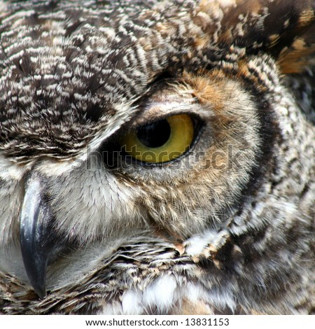 Great Horned Owl eye closeup