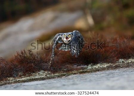 Great horned owl flying in the wild - stock photo