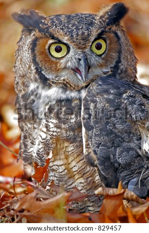 Great Horned Owl in Fall Leaves - stock photo