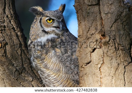 Great Horned Owl in tree closeup horizontal - stock photo