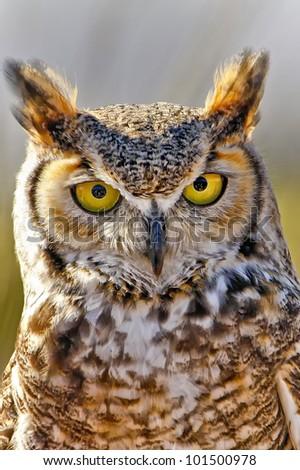 Great Horned Owl in Tucson, Arizona - stock photo