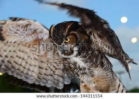 Great horned owl looking down at prey right before take off with wings spread - stock photo