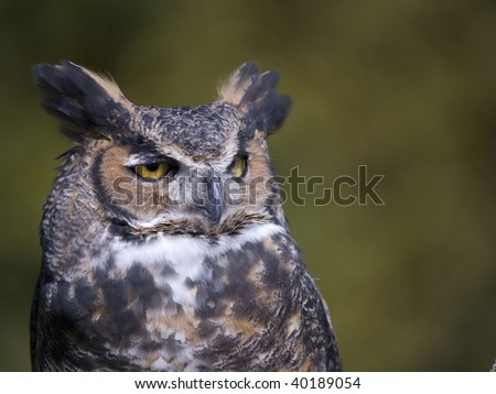 Great Horned Owl looks off to the right a majestic animal. - stock photo