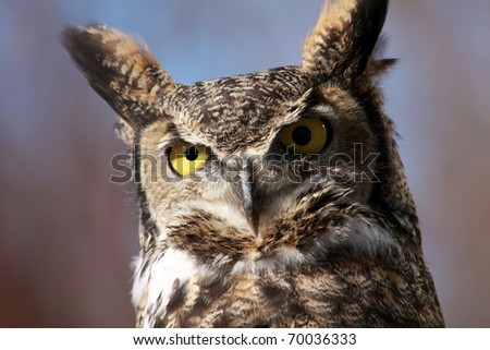 Great Horned Owl near the Boise River, Idaho - stock photo