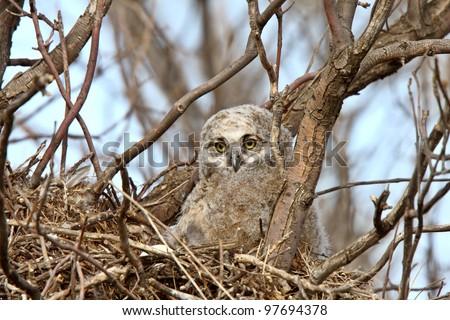 Great Horned Owl owlet in nest - stock photo