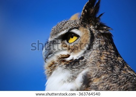 Great Horned Owl Profile - stock photo