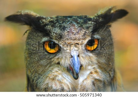 Great Horned Owl - Raptors from the USA - Predator and Golden Backgrounds from Nature