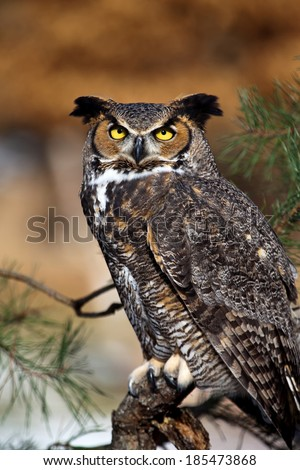 Great Horned Owl sitting in tree and staring at the camera - stock photo