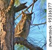 Great Horned Owl stands watch. - stock photo